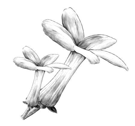 two jasmine buds bloomed side view, sketch vector graphics monochrome illustration on white background Illustration