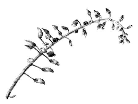 wisteria flower a thin twig with closed buds that have not yet opened, sketch vector graphics monochrome illustration on a white background Vectores