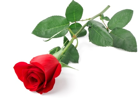 Branch of red rose isolated on white background photo
