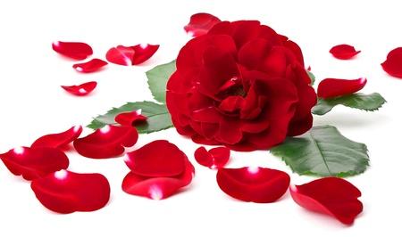 wild  rose: Rosa selvatica con petali intorno isolato su sfondo bianco