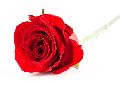 single rose: Red rose on white background