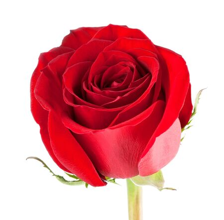 single rose: Red rose close-up on white background Stock Photo