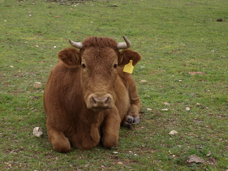 Brown cow laying down in coutry field of grass
