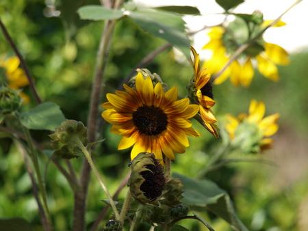 Sunflower in yard Reklamní fotografie