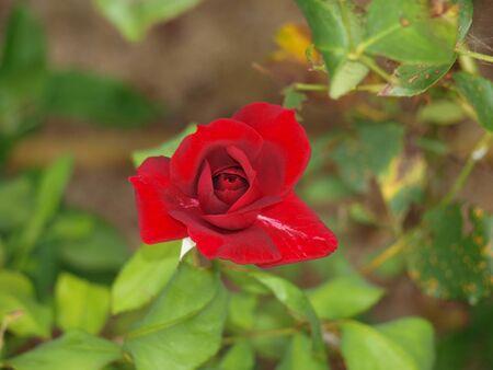 Macro of top red rose