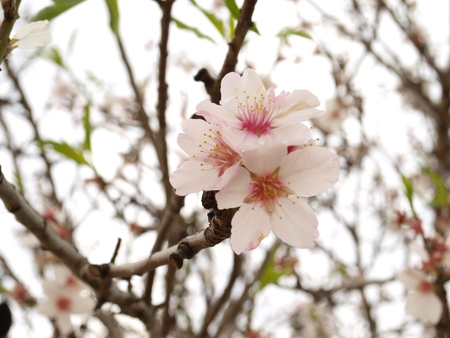 Three white almond tree flowers