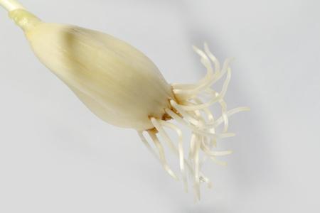 garlic root