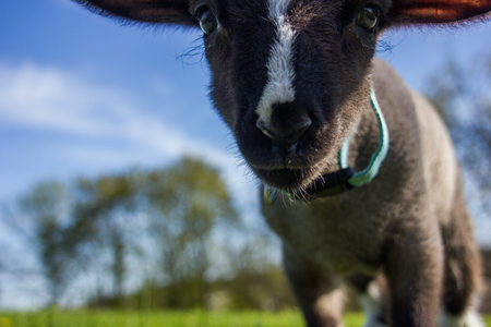 young lamb walking in the field