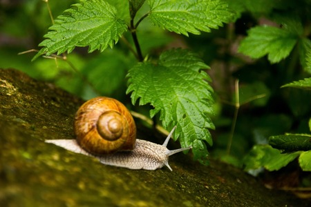 Curious snail in the forest on green stone