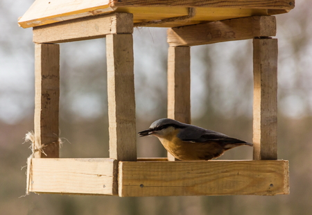 Tomtit is eating from the feeder.