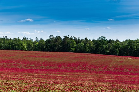 Red clover field and blue sky in summer day.