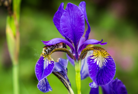 Blue flowers irises and bumblebee close-up