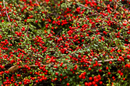 Shrub with lots of red berries on branches Reklamní fotografie