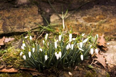 Snowdrop spring flowers.