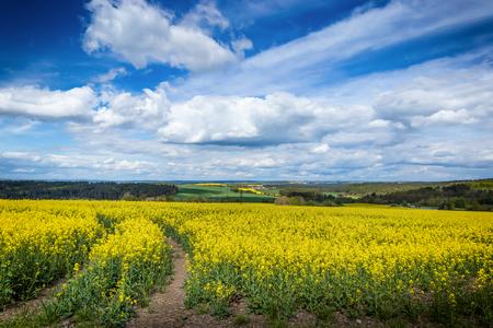 Gelbe Felder, Rapsblüten, Raps. Landwirtschaft, Frühling in Tschechien.