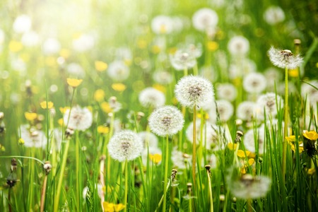 Dandelions on a summer meadow Stock Photo