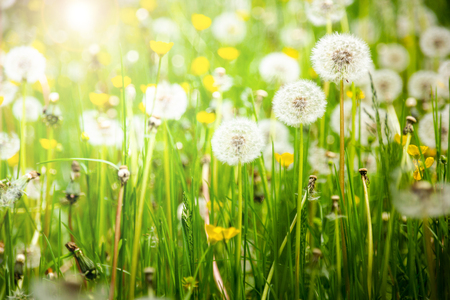 Dandelions on a summer meadow