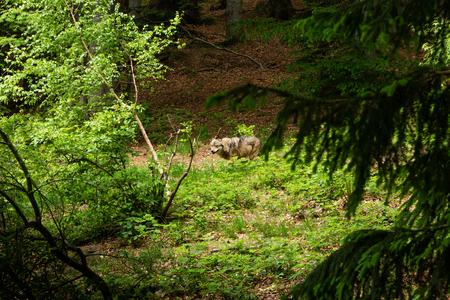Wolf in a summer forest. 免版税图像