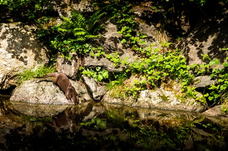North American River Otter. Summer day.