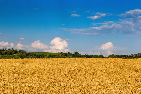 Wheat crop field sunset landscape 版權商用圖片 - 127535704