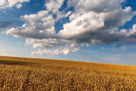 Wheat crop field sunset landscape 版權商用圖片