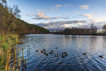Ducks on autumn river in evening.