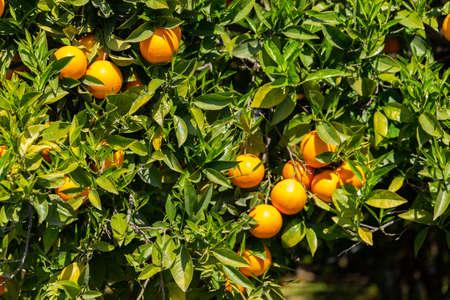 Vibrant oranges on a tree. Fruits garden. Stock Photo