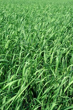 Field with a green grass in a sunny day Stock Photo - 7071241