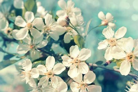 arbol de manzanas: Las flores de los cerezos en flor en un día de primavera Foto de archivo