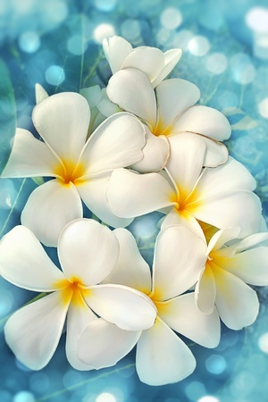 flowering magnolia in the bright blue background photo