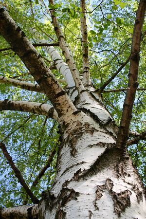 greenwood: White birch trunk with green foliage during the day Stock Photo