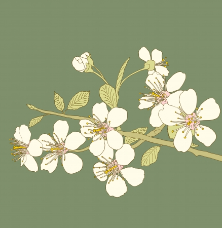Flowers of the cherry blossoms on a green background