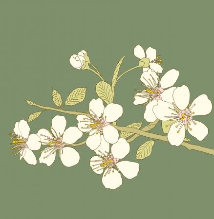 sakuras: Las flores de los cerezos en flor sobre un fondo verde