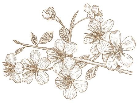 flor de durazno: Ilustración de las flores de los cerezos en flor en el estilo vintage