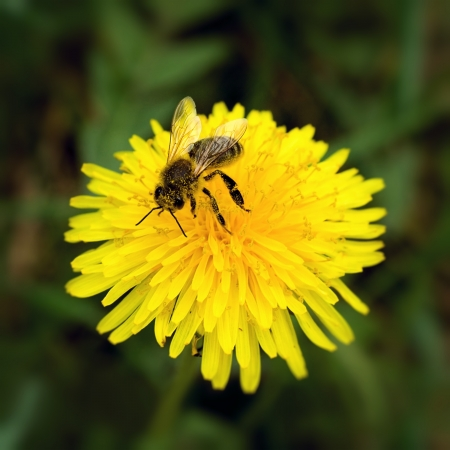 Bee collecting pollen on yellow dandelion 스톡 콘텐츠