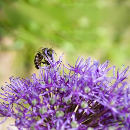 Bee collecting pollen on purple flower Stock Photo - 14131039