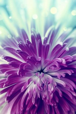 달리아: 밝은 보라색 꽃을 닫습니다