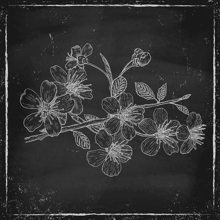 flor de cerezo: Ejemplo del vintage de blosson cereza en la pizarra Vectores