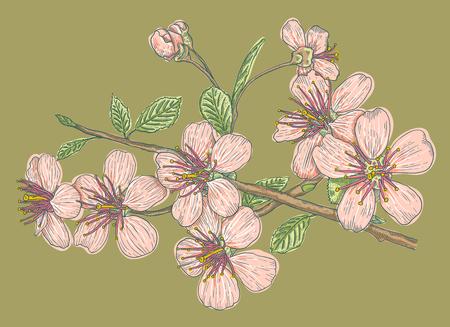 Vintage vector illustration of cherry blossoms pink sakura on green background. Illustration