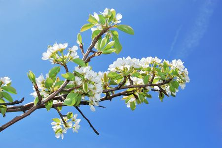 pear tree flowers and sky photo