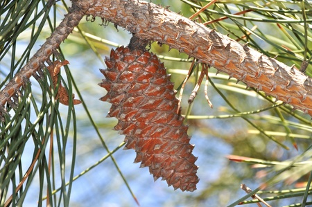 Needle leaf pine tree and pine cone detail photo