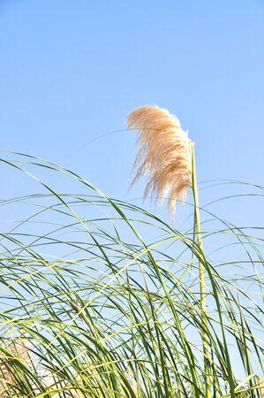 Reeds against a blue sky photo