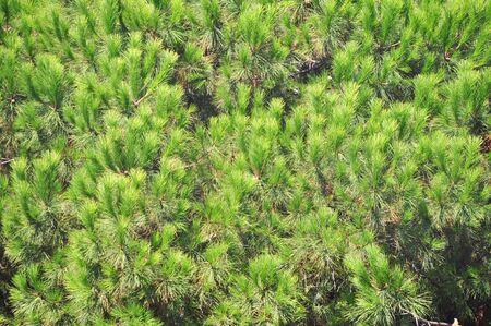 Needle leaf pine tree detail photo