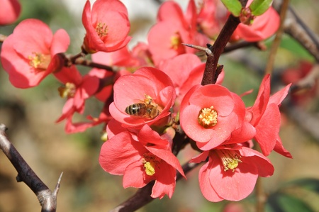 Fruit tree flowers in spring photo
