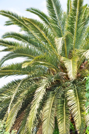 Palm tree trunk and leaves Stock Photo - 11099625