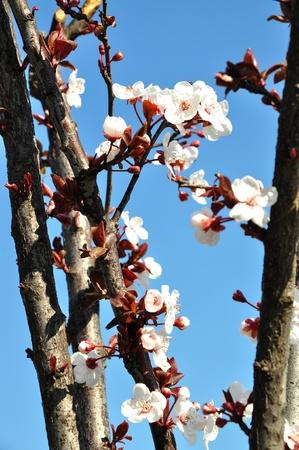 Fruit tree flowers in spring photo