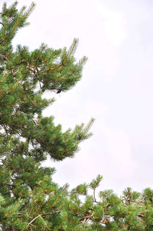 Needle leaf pine tree detail photo