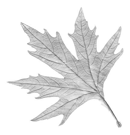 Image en noir et blanc de la feuille Banque d'images
