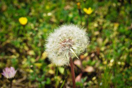 White dandelion in green nature photo