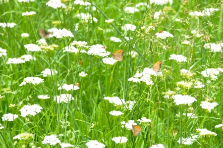 Beautiful white flowers and butterfly in a garden of grass photo